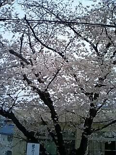 今日の桜!